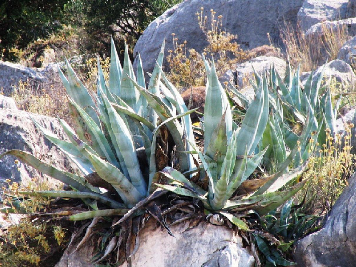Beneficios del aloe vera o s bila - Como es la planta de aloe vera ...